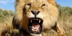 Lion tronqué