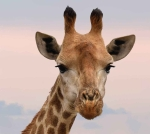 close up photography of giraffe