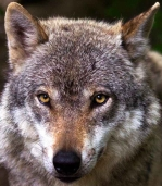 animal eyes wolf view