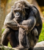 chimpanzee-sitting-sad-mammal.jpg