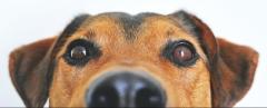 photo gros plan du visage de chien brun et noir